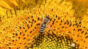 Une détox avec du pain d'abeilles
